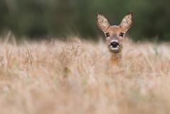 Roe Deer doe (Wouter's Wildlife Photography) Tags: roedeer deer doe capreoluscapreolus animal nature naturephotography wildlife wildlifephotography rådyr pattedyr billund female mammal explore
