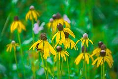Wildflowers of Yellow