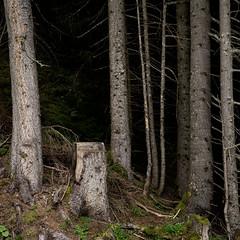 Am Waldrand III (zeh.hah.es.) Tags: wald nadelwald forest baum tree bäume trees graubünden grischun schweiz switzerland grün green grau gray grey schwarz black vertikal vertical waldrand