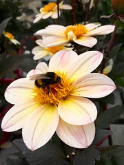 Garden centre visitor (Julie (thanks for 8 million views)) Tags: iphonese gardencentre pollination bumblebee insect wings flower hww 100flowers2017 petals colourful ireland irish newross countrylife