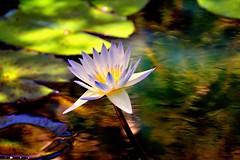 Dappled Light  (Explore) (redhorse5.0) Tags: waterlily garden gibbsgarden ballgroundgeorgia pond redhorse50 sonya850 plant nature