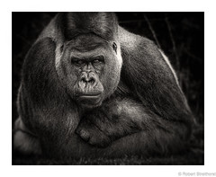This is me being Calm (Robert Streithorst) Tags: cincinnatizoo gorilla jomo monochrome robertstreithorst silverback zoosofnorthamerica