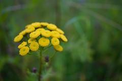 Freitagsblümchen (photalena) Tags: friday yellow denmark rainfarn