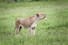 Calling (Sheldrickfalls) Tags: lion lioness lionesswalking leeu sabisands nottensbushcamp krugernationalpark kruger krugerpark mpumalanga southafrica coth5