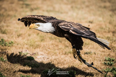 Bald Eagle in Flight (vagabondexpedition) Tags: roadtrip vagabondexpedition eagle baldeagle birdofprey