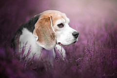 a dream in purple (mona_hoehler) Tags: dog pet animal beagle beauty girl purple pink flowers spring nikon tamron shooting model