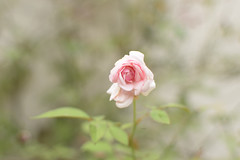 The lone summer rose - EXPLORED (Vidya...) Tags: lone summer rose light pink garden last jaded beautiful nature bloom