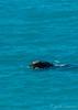 Southern Right Whale (JLoyacano) Tags: australianbight eubalaena eubalaenaaustralis headofbight jacobloyacano rightwhale sa southaustralia southernrightwhale baleen bight calf greataustralianbight marine marinemammal nullarbor whale