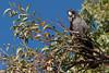 Red-tailed black Cockatoo (i-lenticularis) Tags: 23jun2jul2017 k1 kingspark wa westernaustralia australia au redtailedblackcockatoo calyptorhynchusbanksii