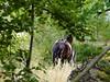 Det fungerar... (Patrick Strandberg) Tags: freydafrånblixtorp sweden östergötland berga tanner freyda icelandichorse islandshäst horses hästar olympusxz1 xz1 olympus