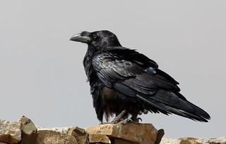 Raaf - Raven - Corvus corax -9489