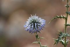 Echinops ritro (esta_ahi) Tags: larboç echinops ritro echinopsritro cardoyesquero asteraceae compositae flor flora flores silvestres blue baixpenedès tarragona spain españa испания