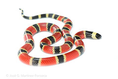 Central American Coral Snake (SVALDVARD) Tags: snake svaldvard josegabriel josegabrielmartinez nicaragua serpientes snakes coral herpetology herptología herps tropicalherping