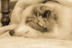 32-52 Della - Sleeping Beauty (janecumming33) Tags: 52weeksfordogs australianshepherds aussies dogs pets sleeping sepia