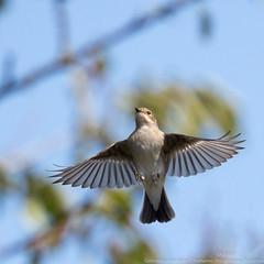 Gobemouche noir (gilbert.calatayud) Tags: europeanpiedflycatcher ficedulahypoleuca gobemouchenoir muscicapidés passériformes bird oiseau mazères ariège laddo