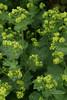 Alchemilla mollis (Owl Prints) Tags: mygarden alchemillamollis herbs waterdroplets yellowflowers rosaceae ladysmantle
