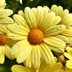 Flor a Argentière. thumbnail