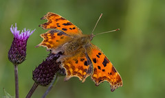 Comma (Will Gell) Tags: comma butterfly polygonia calbum gifford bolton east lothian scotland nikon d7200 sigma 105mm will gell