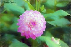 Dalia (alanchanflor) Tags: malva canon color dalia naturaleza pastel