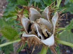 Devils trumpet seeds (Alta alatis patent) Tags: botanicalgardenutrecht botanicalgarden daturastramonium doornappel jimsonweed devilssnare devilstrumpet devilsweedthornapple tolguacha jamestownweed stinkweed locoweed seeds