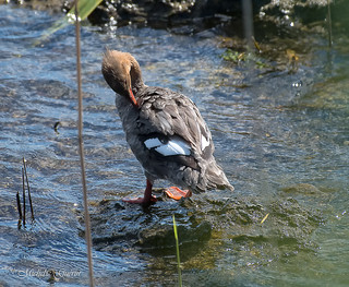 Harle huppé -Red-breasted Merganse