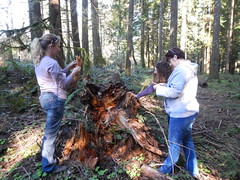 2016. L-R: Kristen Chadwick, Beth Willhite, and Holly Kearns looking at root disease. Westside Service Center work planning meeting. Corbett, Oregon. (USDA Forest Service) Tags: usfs usda forestservice region6 foresthealthprotection stateandprivateforestry westsideservicecenter meeting workplanning rootdisease hollykearns kristenchadwick bethwillhite corbett oregon march292016 bensmith forestpathologist forest pathology treedisease forestentomologist