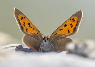 Backlit small copper butterfly (1 of 3)