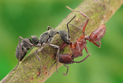 IMG_2553 Mixed Martial Ants! HBBBT! (omtelsimon) Tags: specinsect ant formicidae fighting