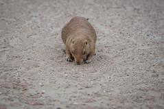 CR2017_0804_Wildlands_2967 (Corry Rovers) Tags: drente emmen wildlands gewervelden prairiehond zoogdieren