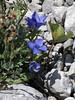 Gorsko cvetje / Mountain flowers