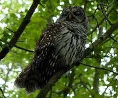Barred Owl blinking (Dendroica cerulea) Tags: barredowl strixvaria strix strigidae strigiformes aves bird owl summer wildlifeobservationcenter greatswamp greatswampnationalwildliferefuge greatswampnwr morriscounty nj newjersey