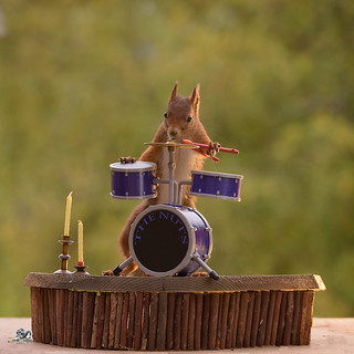 squirrel stands behind a Drum Kit