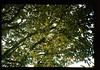 Flower Bud Of Durian = ドリアンのつぼみ (JIRCAS) Tags: タイ東北部、北部遺伝資源収集 タイ 稲作 durian flowerbud nakhonpanom thailand