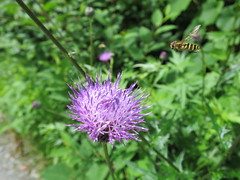 Thistle and horsefly アザミと虻 (yh828) Tags: flowers insects green purple thistle horsefly アザミ 虻
