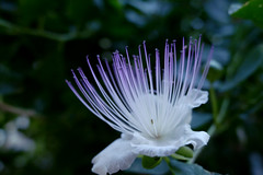 glow (nelesch14) Tags: summer flower white purple glow macro nature green italy closeup