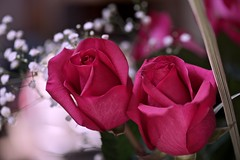 In love forever! (ineedathis, Everyday I get up, it's a great day!) Tags: dedication giftformywife anniversary roses babybreaths stilllife bouquet vase flower bokeh nikond750 love nature summer macro