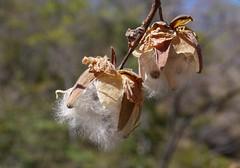 Fiber fast  .  .  . (ericrstoner) Tags: cochlospermumregium yellowcottontree algodãodocerrado bixaceae algodãodocampo moradadosol chapadadosveadeiros fiber fibra cotton algodão cerrado