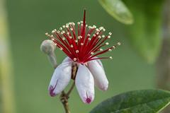 Feijoa flower (Acca sellowiana) (PriscillaBurcher) Tags: accasellowiana guayabadelbrasil guayabodelbrasil feijoa fruta frutos fruit pineappleguava guavasteen guava flordelafeijoa feijoaflowers floweringtrees l1370916