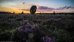 pretty in pink (H.Roebke) Tags: de landscape landschaft nature himmel germany lowersaxony natur heideblüte 2017 baum tree pink sky lila heather niedersachsen
