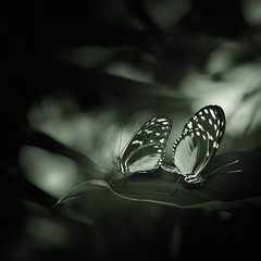 Revealing the Moonlight Mates (Charles Opper) Tags: callawaygardens canon georgia hmbt heliconius heliconiushecale spring blackandwhite bokeh butterflies butterfly dark goldenhelicon insects monochrome nature noir square tigerlongwing