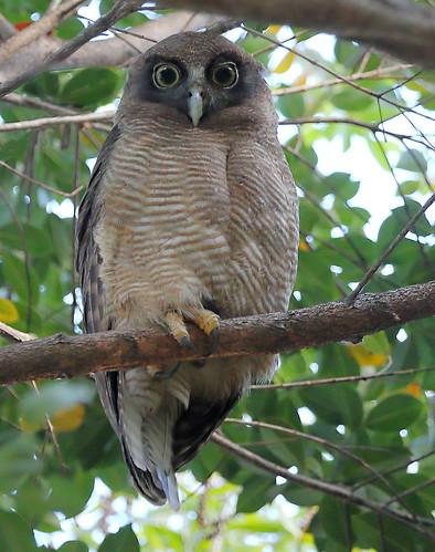 Rufous Owl (Ninox rufa)
