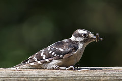 This May Be a Problem (Karol A Olson) Tags: hairywoodpecker seed beak problem aug17 project3652017 mdpd2017