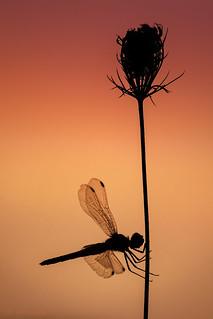 Libelle-am-morgen