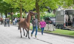 Wemmel, Jaarmarkt 2017 #2 (foto_morgana) Tags: animals belgique belgium belgië horse jaarmarkt2017 mammalia mammals mammifères nature outdoor säugetiere wemmel zoogdieren