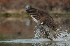 Splash (Earl Reinink) Tags: bird animal fish water outdoors splash food nature naturephotography earl reinink earlreinink
