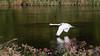 Elegance-on-Tweed (warth man) Tags: d750 nikon70300mmvr swan rivertweed earlymorning bird reflection