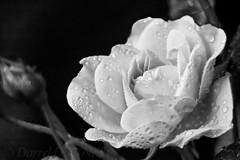 Miniature Rose through a Long Lens (B&W) (LongInt57) Tags: miniature rose flower blossom bloom petals bud bw monochrome black white grey gray nature garden kelowna bc canada okanagan