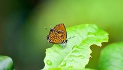 Monkey Puzzle (sreejithkallethu) Tags: monkeypuzzle nature naturephotography butterfliesofneeravil neeravil kollam kerala butterfliesofkerala