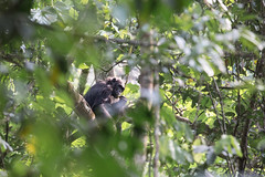 A Trapped Chimp of the Kyambura Gorge (Ring a Ding Ding) Tags: africa animal equator forest kyamburagorge pan primates queenelizabethnationalpark uganda chimpanzee habituated isolated nature safari wild wildlife bunyaruguru westernregion