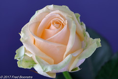 "Beauty in the livingroom, ""Rose"" (A.J. Boonstra) Tags: rose roos ef100mmf28lmacroisusm canon70d canoneos canon closeup falconeyesskk2150d falconeyes falconeyesdiffusionumbrella falconeyesoctabox eefde"